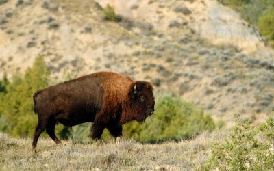 Badlands Bison #3