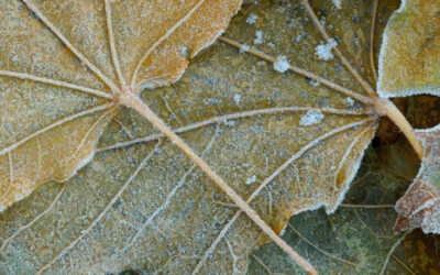 Frosted Leaves #2