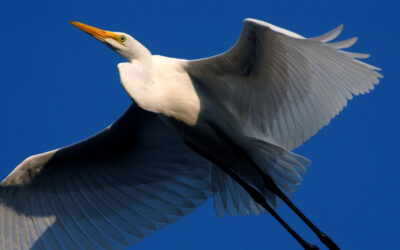 Great Egret#2