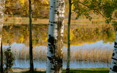 Three Poplars--Panoramic