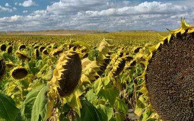 Sunflower Panoramic